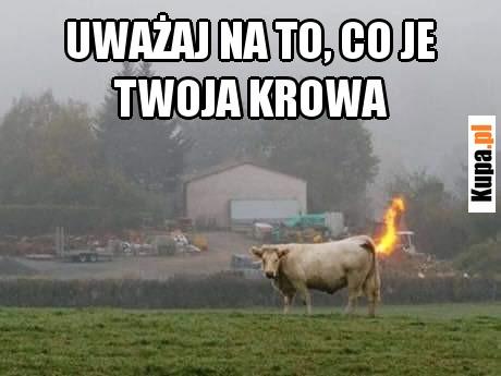 Uważaj na to, co je Twoja krowa
